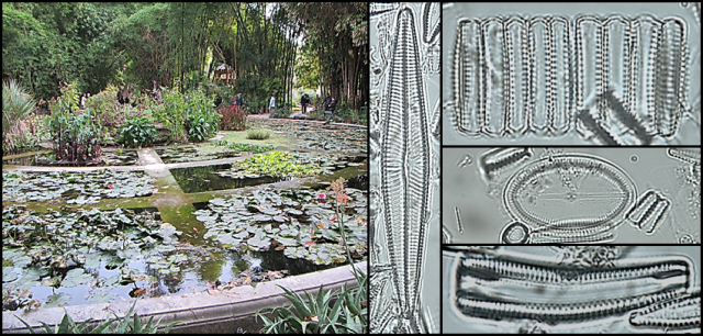 A collage including a pond in a garden and several phytoplankton samples.