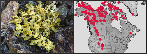 A yellow lichen, alongside the map of known specimens in North America.
