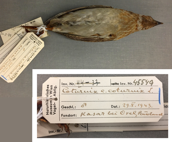 Ventral view of a quail specimen and a close-up view of one of the tags attached to the bird's feet. Showing the text: Coturnix c. coturnix L .; 29.V.1943; Kasar bei Orel, Russland.