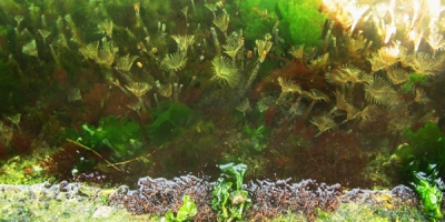 An underwater scene with algae and fan worms