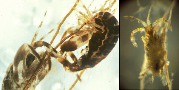 Two shrimp-like creatures each with a pair of enlarged claw-like appendages on the left. One shrimp-like creature in her tube on the right.