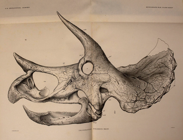 Drawing of a horned dinosaur skull