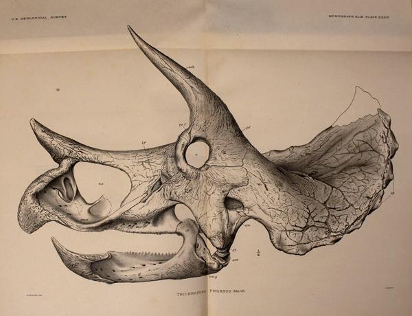 Drawing of a horned dinosaur skull