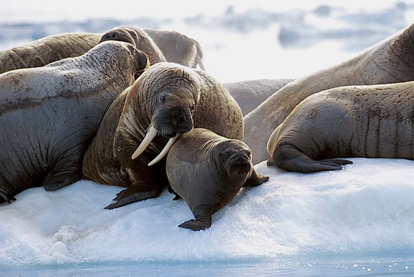 Walruses on sea ice.