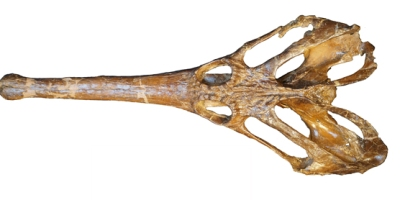 The skull of Champsosaurus