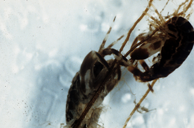 Two small dark crustaceans facing each other closely and fighting.