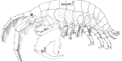 A line drawing of an adult male amphipod with a large prominent claw below its body.