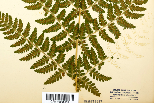 Closeup image of a herbarium sheet with a spreading wood fern specimen that has a section missing.