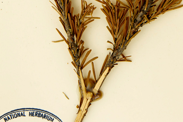Close-up image of a herbarium sheet with a subalpine fir specimen that has some acidic, yellowed adhesive masking some of the specimen from view.