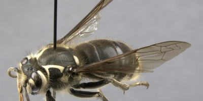 A pinned wasp specimen