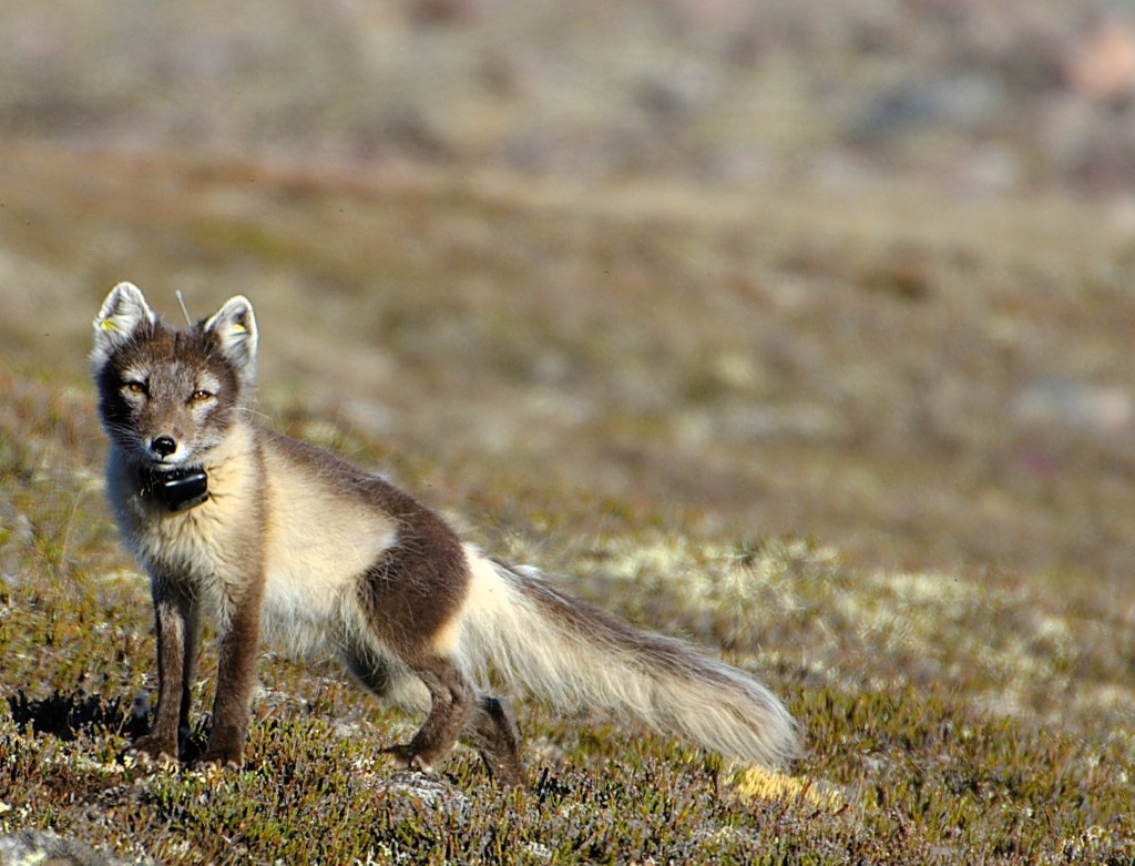 A brown fox with a long bushy tail is seen with a radio transmitter attached to its collar, which also has a small antenna in it