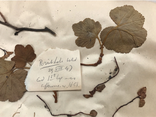 A pressed plant specimen with a small slip of paper containing field notes.