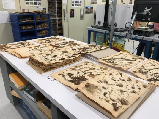 A large table with piles of pressed plant specimens.