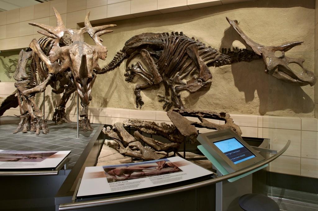 Dinosaur skeletons on display in a museum.