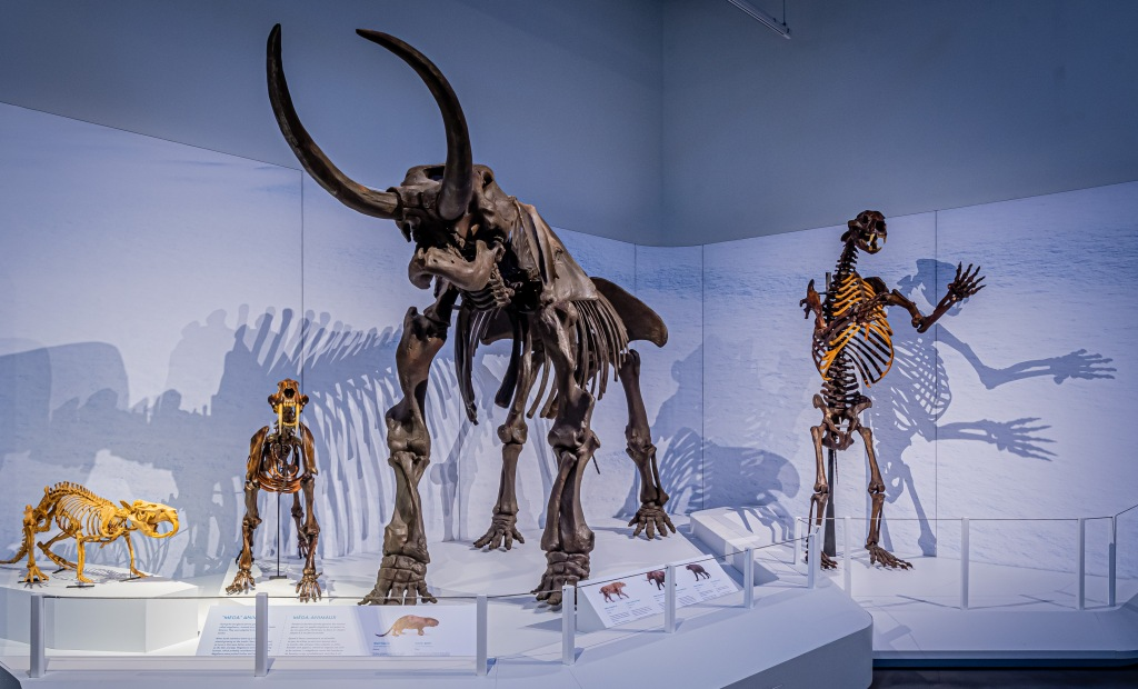 Five skeletons of extinct mammals on display in a museum.