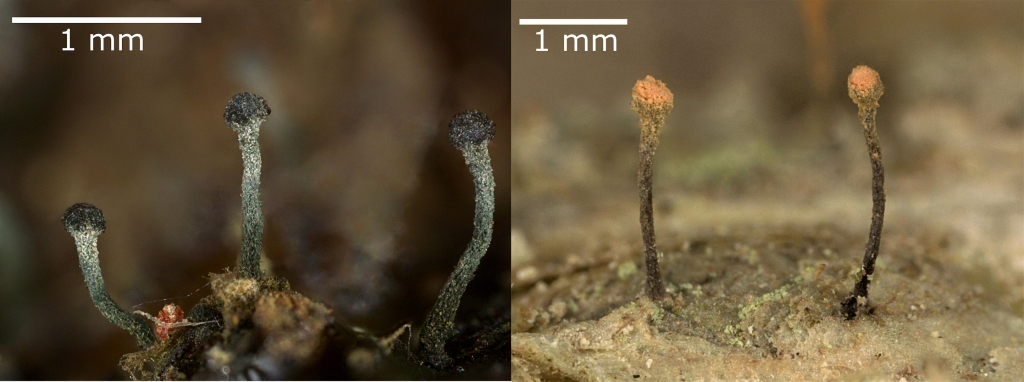 Two side-by-side images of tiny lichens. Each is between 1 to 2 mm tall and looks like a pin with a round head. The ones on the left are black with a white powdery coating on the stalk and the ones on the right are brown and orange.