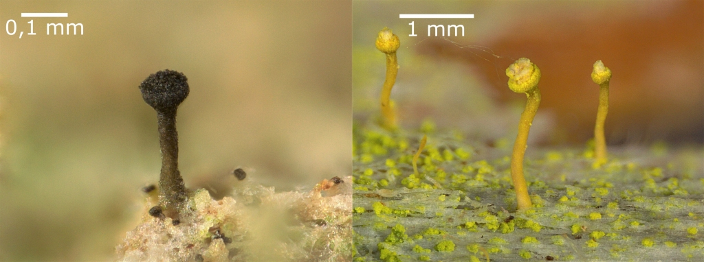 Two side-by-side images of tiny lichens. They are between 0.5 mm and 2 mm tall and they each look like a pin with a round head. The one on the left is black and the ones on the right are pale yellow.