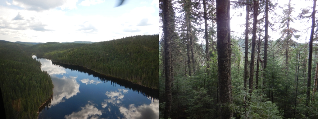 Two side-by-side images. The one on the left is of a perfectly still lake with reflections of clouds visible on the surface; there is thick forest all around. The image on the right shows a stand of tall balsam fir trees covered by lichens, with shorter trees around them.