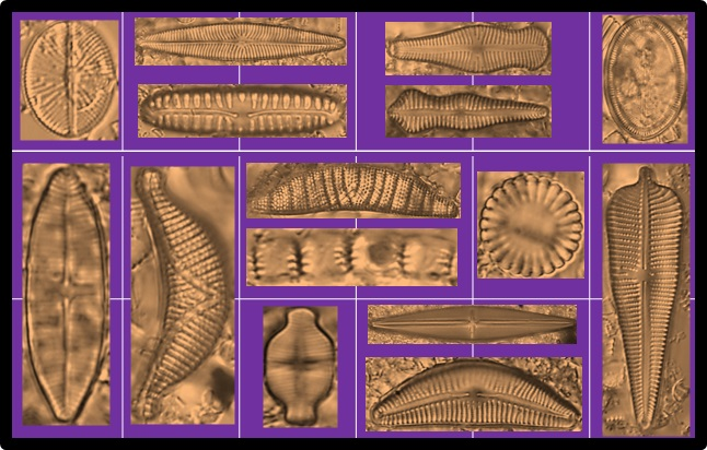 An image arranged to look like a box of chocolates, with brown diatom shapes against a purple background.