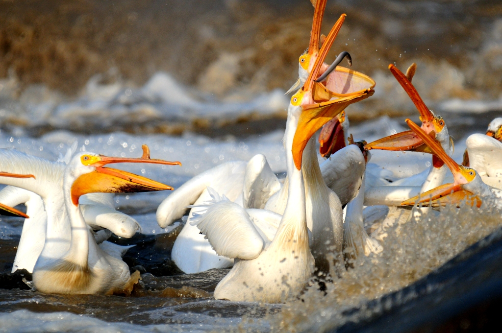 A number of large pelicans feeding on an eel–like fish.